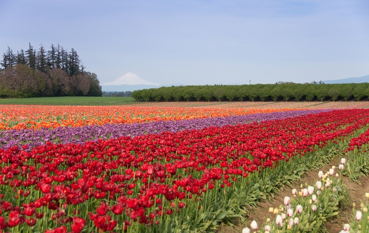 Tulip field with Mt. Hood in background.
